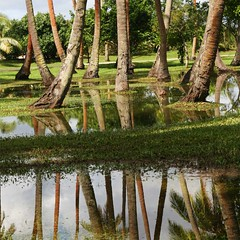 Shangri-la Fijian Resort trees (Ian Lyons) Tags: reflection tree fiji palm shangrila accept reject3 reject4 reject1 reject6 reject7 reject2 accept2 reject5 reject8