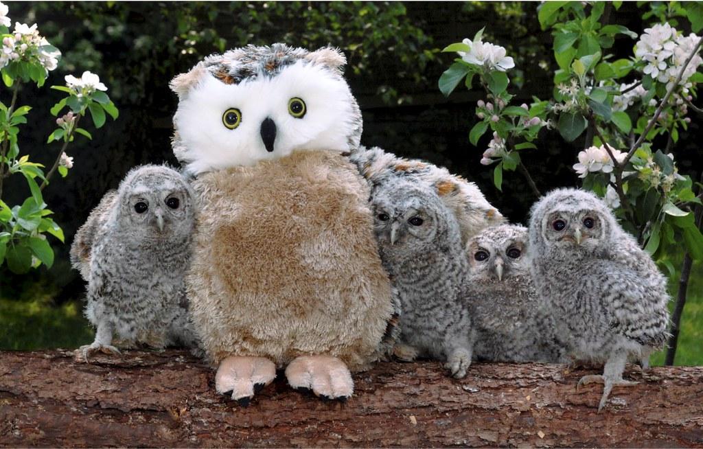 Baby Owls get a Cuddly new 'Mum'