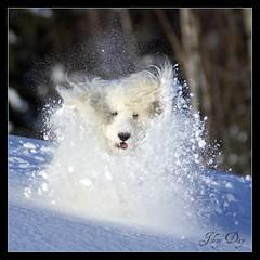 Wild Canadian Arctic  Avalanche Trail Blazer (Johny Day) Tags: searchthebest barbie arctic trailblazer 70300mm artic bestinshow avalanche standardpoodle blueribbonwinner oneofmybest canadianarctic canicheroyal sonyalpha100 mywinners thelittledoglaughed johnyday platinumphoto impressedbeauty goldstaraward editedwithpicnick barbieholiday badass45lbspoodle snowkangaroo spoobestshot