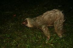 A Wet Sloth