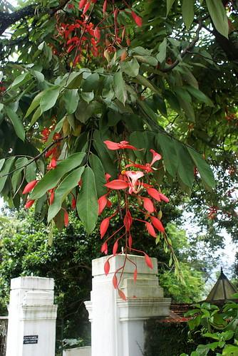 Amherstia nobilis (Fabaceae)