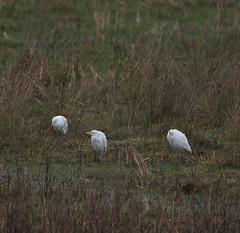 Cattle Egret (M Carmody Photography) Tags: ireland heron cattle cork marsh cattleegret carmo clonakilty bubulcusibis egretta canonef500mmf4lisusm canoneos1dsmarkiii carmopolice