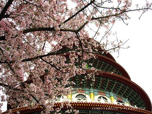 天元宮櫻花19