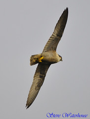 PEREGRINE FALCON IN PASSAGE (2007 CHICK) (spw6156) Tags: copyright lens hand steve iso 400 falcon mm 500 held passage nationaltrust raptors waterhouse peregrine in plymbridge cannquarry thewonderfulworldofbirds hairygitselite spw6156 stevewaterhouse plymperegrineproject plymbridgeperegrinefalcons copyrightstevewaterhouse