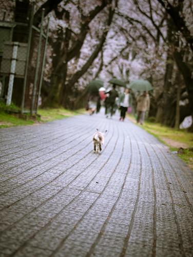 13433  :  Sakura Prince #2 -Dash!-