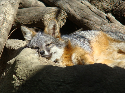 Channel Island Fox at the Los Angeles Zoo