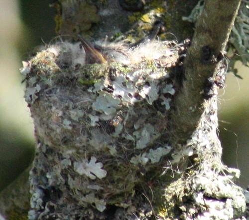 hummingbird_chick