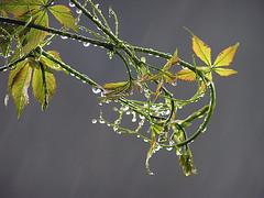 Altro tentativo.L'acqua non manca.....Another attempt! Water isn't missing... (Sante.boschianpest) Tags: milano woodbine virginiacreeper parthenocissus vitedelcanad