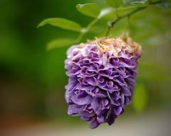 Wisteria Lane (HamWithCam) Tags: atlanta purple bokeh atl d2x dec hamwithcam hwc decatur wisteria nikkor50mmf14afd