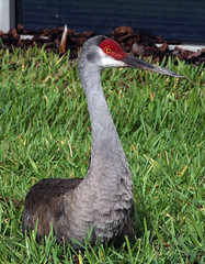 Funny Story! Lynn and Lee Would Be Proud! (kathleenjacksonphotography) Tags: red green bird nature cherry grey florida wildlife sandhillcrane gruscanadensis gruscanadensispratensis