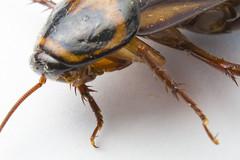 Roach Macro Study 1718 (Chris McGrigor) Tags: macro roach