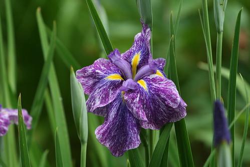 Japanese iris 'Imperial Magic'
