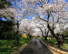 Road to Blossoms (` Toshio ') Tags: road street family pink flowers trees sky people flower tree grass forest walking children cherry washingtondc dc washington petals spring districtofcolumbia branch child artistic branches blossoms perspective maryland neighborhood parent cherryblossoms stroll soe hdr kenwood chevychase cherryblossomfestival toshio abigfave highdynamicresolution heritage2011