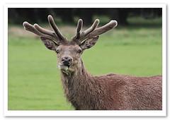 Ruminative-3541 (Barbara J H) Tags: park uk england london velvet richmond deer antlers buck reddeer richmondpark deerbuck velvetantlers holidaytrip2009