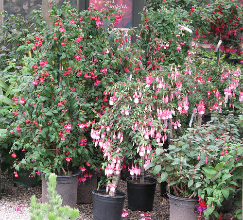 fuchsia trees
