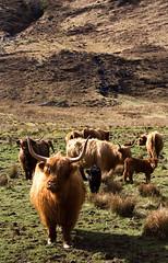18.04.10-glenelchaig-04 (twistan) Tags: uk scotland cows highlandcattle 2010 calves invernessshire kintail glenelchaig