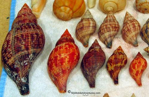 IMG_2249-Shells-Sanibel-TSAlberto