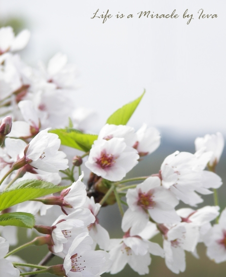 Cherry blossom/ Sakuros