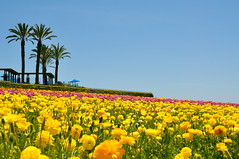 Flower Fields of Carlsbad (alhambramd) Tags: 6690 d90project