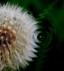 Curved Air (Roamer 57) Tags: white green clock nature weed nikon air dandelion curved theworldwelivein magicunicorntheverybest