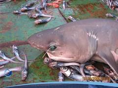 arrastre04 (Tiburones Chile) Tags: conoce pesquerias especieamenazada