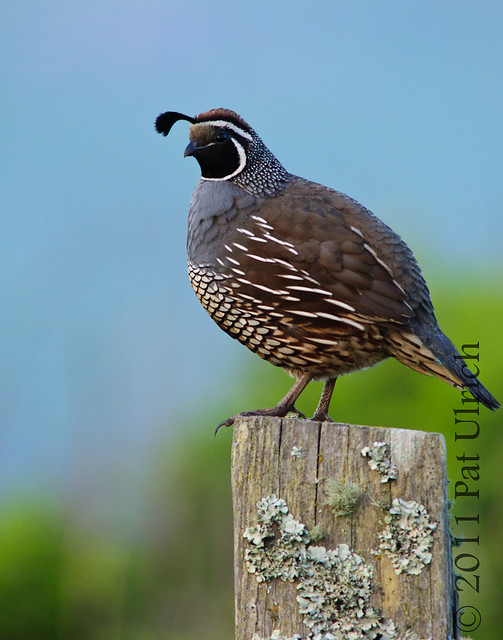 Quail glance - Pat Ulrich Wildlife Photography