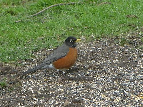 Robin Redbreast