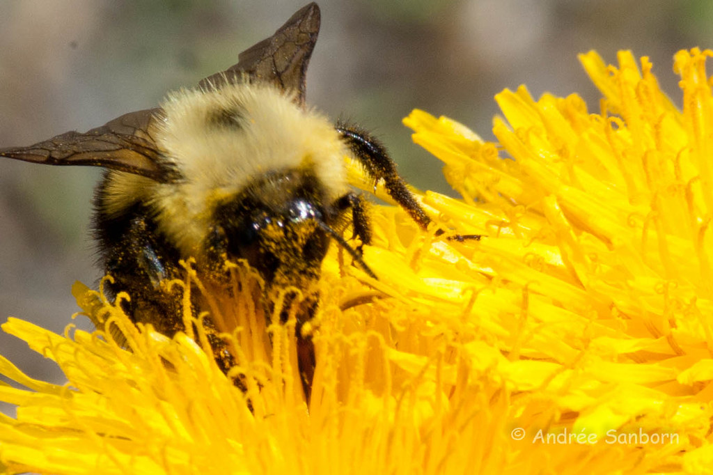 Bumblebee on Dandelion (Taraxacum officinale)-3.jpg