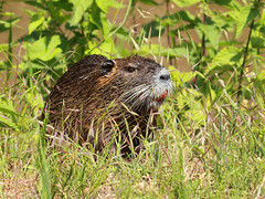 Nutria / Biberratte / Coypu (Myocastor coypus) (Sexecutioner) Tags: portrait nature animal animals canon germany deutschland zoo tiere hessen wildlife natur dortmund nordrheinwestfalen nutria tier nauheim coypu 2011 ragondin wasserratte beverrat myocastor coypus myocastorcoypus nutriarat coipu nutrie biberratte zoodortmund anawesomeshot sumpfbiber coypurat schweifbiber schweifratte ratodobanhado grosgerau nutrija coip copyrightsexecutioner rataodobanhado swampbeaver bverrotte sumpbver rmemajava bjrrotta beverrotte sumpbever sumpbver sumaymunu