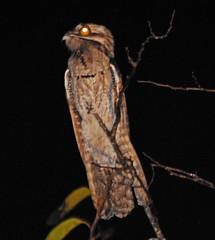 WMex09_D-40-0236a (jerryoldenettel) Tags: bird mexico nayarit 2009 sanblas nightjar potoo northernpotoo nyctibius nyctibiusjamaicensis caprimulgid caprimulgiformes nyctibiidae singayta