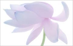 EXPLORED!  Up Close Lotus Flower / high key /: IMG_2965 - ,زهرة اللوتس, ハスの花, 莲花, گل, لوتوس, (Bahman Farzad) Tags: flower macro up yoga closeup high key peace close purple lotus relaxing peaceful highkey meditation therapy upclose tatto hikey زهرة 莲花 گل lotusflower اللوتس lotuspetal lotuspetals ハスの花 لوتوس lotusflowerpetals lotusflowerpetal