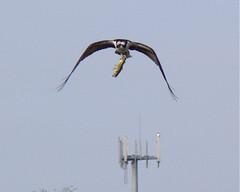 Osprey with Bass