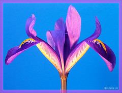 Iris uit een potje #2 (okkibox) Tags: iris flower color fleur blume blueiris 2009 fujifinepix bloem artistimpression okkibox