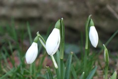 First snowdrops of the year
