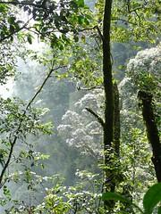 Gunung Irau #128 – The Beauty Of The Mount Irau's Tropical Jungle. (ighosts) Tags: travel vacation nature forest moss hiking adventure journey malaysia cameronhighlands pahang perak gunungirau tropicaljungle jungletracking mountirau junglefruits mossyjungle anakirau raintropicaljungle