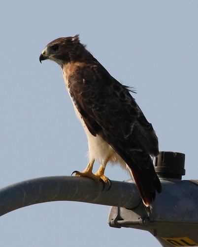 Red-tailed Hawk - 9/26/2008