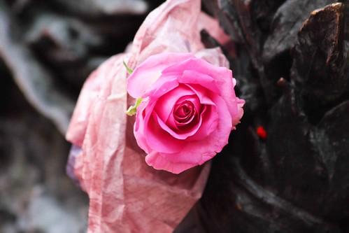 Una rosa per Eluana Englaro