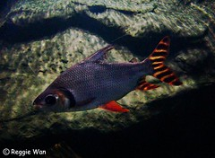 Small fish in the tank. (Reggie Wan) Tags: fish singapore nightsafari reggiewan