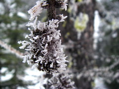 Frost covered Moss (r3m00r3) Tags: flora frost larch mountcaryle