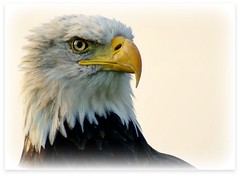 Proud man (patries71) Tags: searchthebest eagle sony baldeagle raptor julius arend amerikaansezeearend roofvogel sonyalpha patries71 roofvogelboerderij vosplusbellesphotos roofvogelmanege