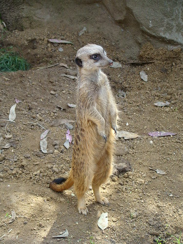 Meerkat at the Los Angeles Zoo