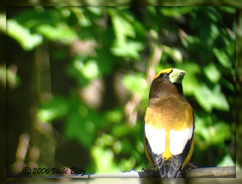 Male Evening Grosbeak