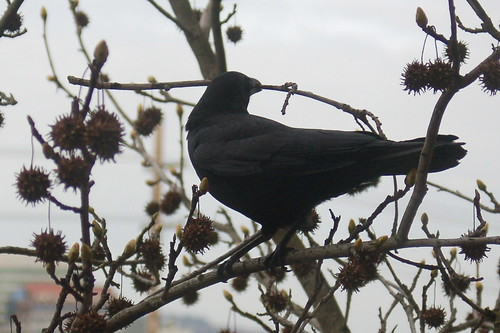 DSC_74_crow_twig