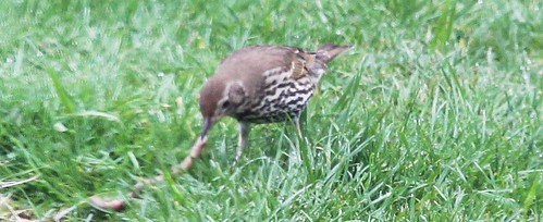 Thrush with Worm