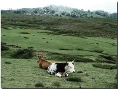 Chill out area (DaAnda) Tags: camera green nature grass digital landscape island photography photo nikon holidays flickr foto cows corse natur corsica tags insel dslr landschaft photostream khe korsika mittelmeer spiegelreflex alcudina incudine spiegelreflexkamera d80 monteincudine daanda