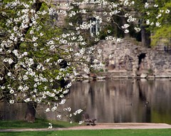 Spring idyll (Linda6769) Tags: park reflection bird wall germany bench town duck pond ast branch blossom bank thuringia twig teich englischergarten blte reflexion folly follies englishgarden blooming sitzen meiningen bloomingtree zweig gewsser blhend blhenderbaum picturewithmusic builtbyjohannandreasschaubach