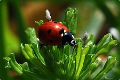 Lady in Red (Jenae smiles :)) Tags: red green bug backyard nikon florida ladybug pensacola nikond80 platinumheartaward