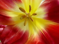 captain's wheel (frankieleon) Tags: red flower macro nature colors yellow garden interestingness spring interesting bestof cc tulip creativecommons popular frankieleon