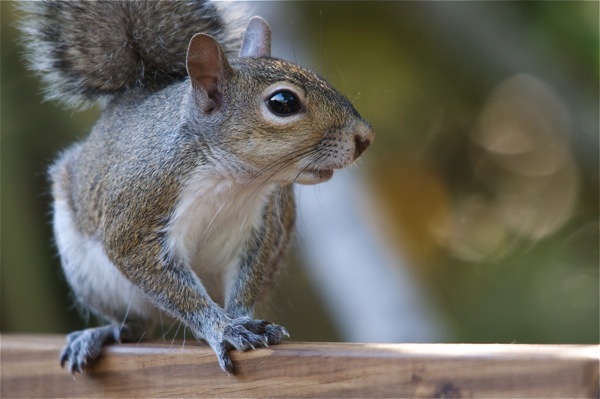 squirrel_0003