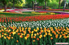 Tulips bloom at Beijing Zhongshan Park -  (Meiguoxing) Tags: park flowers sun flower spring tulips sightseeing beijing tulip  sight shan gong yuan peking zhongshan attraction zhong attractions  pkin  pechino  yatsen